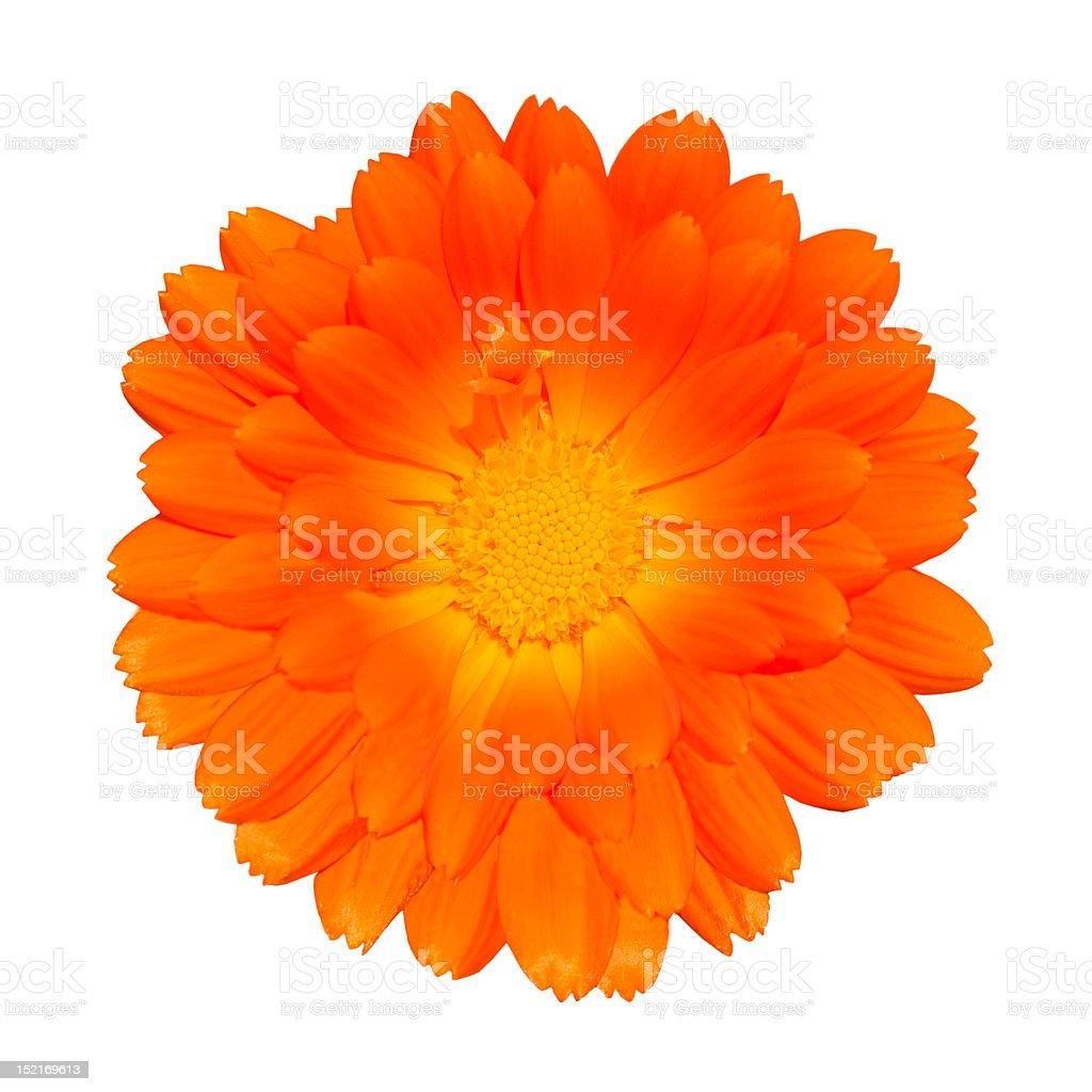 Orange Pot Marigold - Calendula officinalis Isolated stock photo