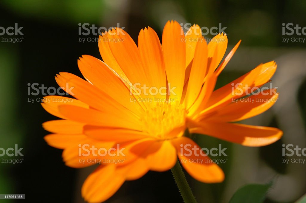 orange Pot Marigold royalty-free stock photo