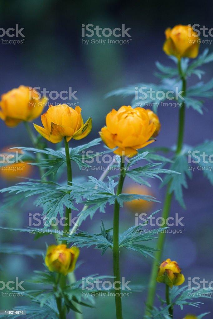 Orange Ranunculus - garden flowers Trollius europaeus (The Globe-flower) stock photo