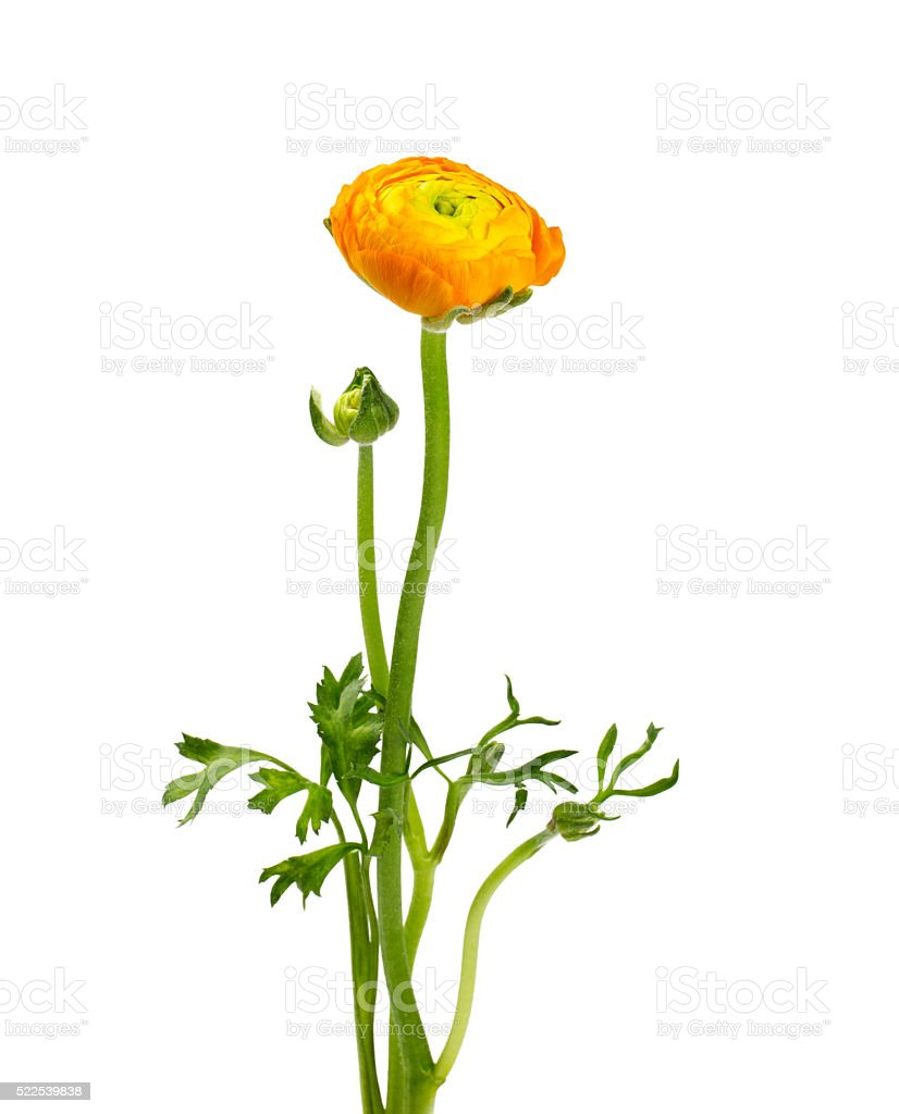 orange ranunculus isolated on white stock photo