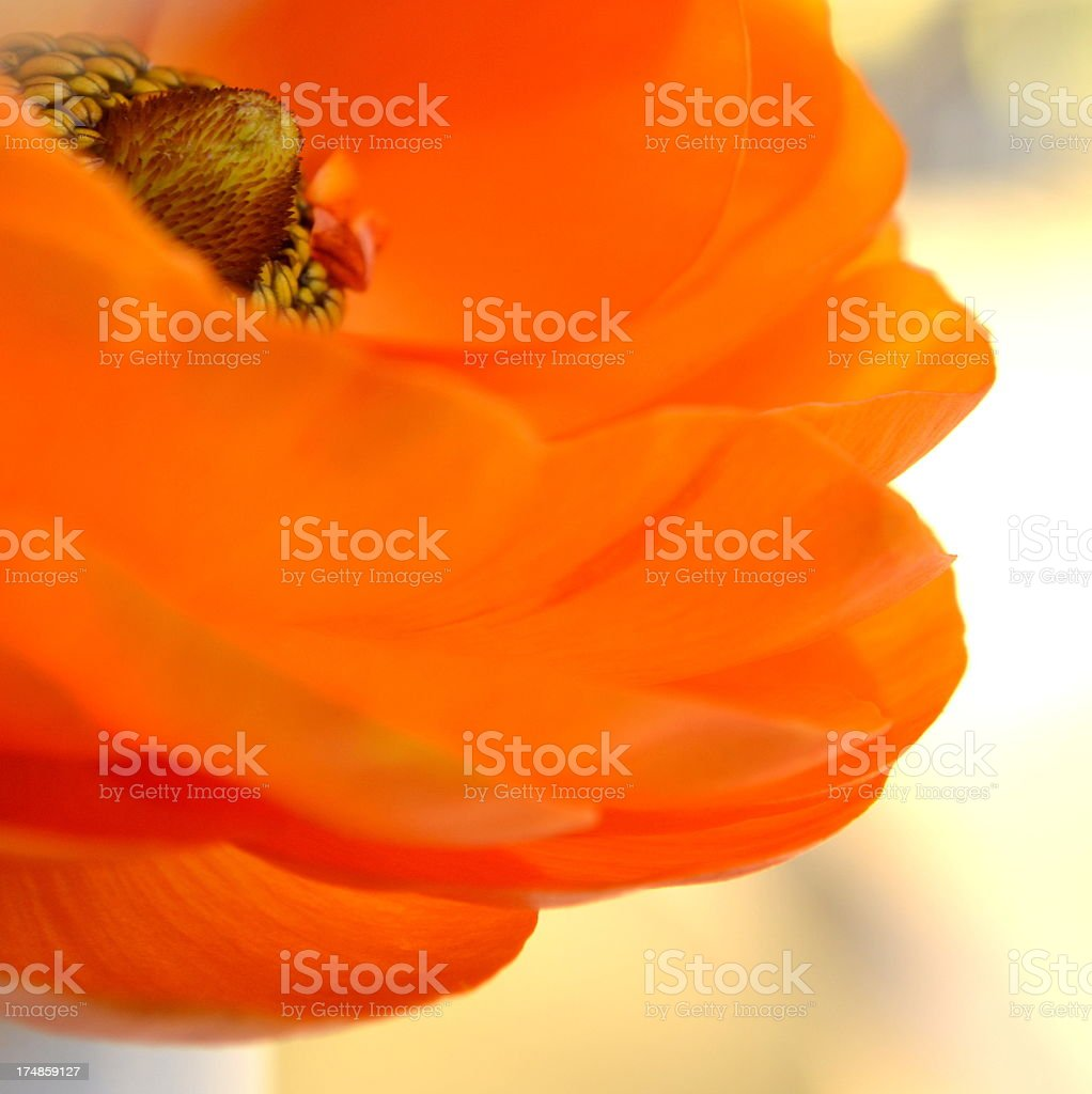 Orange Ranunculus royalty-free stock photo