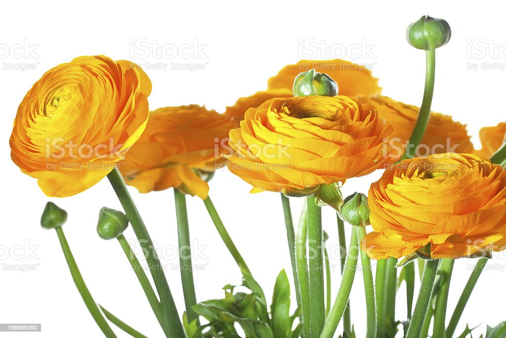 Orange ranunkulus royalty-free stock photo