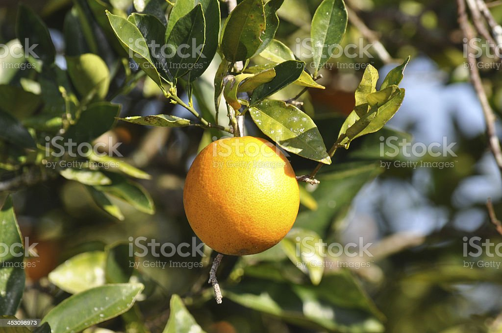 Orange ready to pick. stock photo
