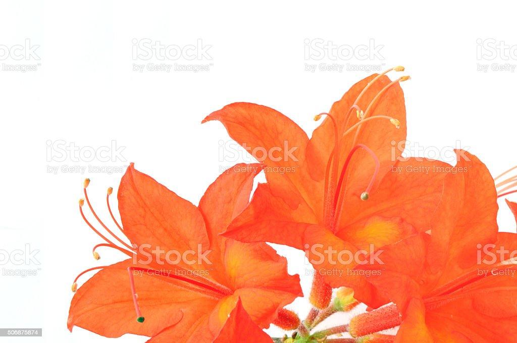 orange red Azalea on white isolated background. stock photo