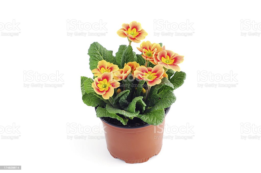 orange red Primula Primrose (Temperate Flower) royalty-free stock photo