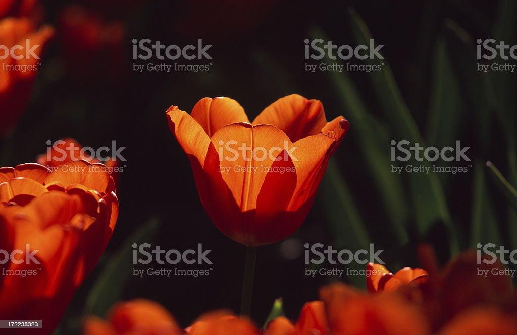 Orange / red tulip, with black background. stock photo