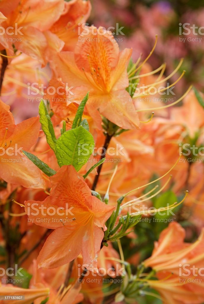 orange rhododendron stock photo