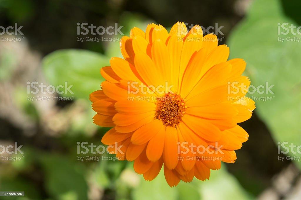Orange Ringelblume royalty-free stock photo