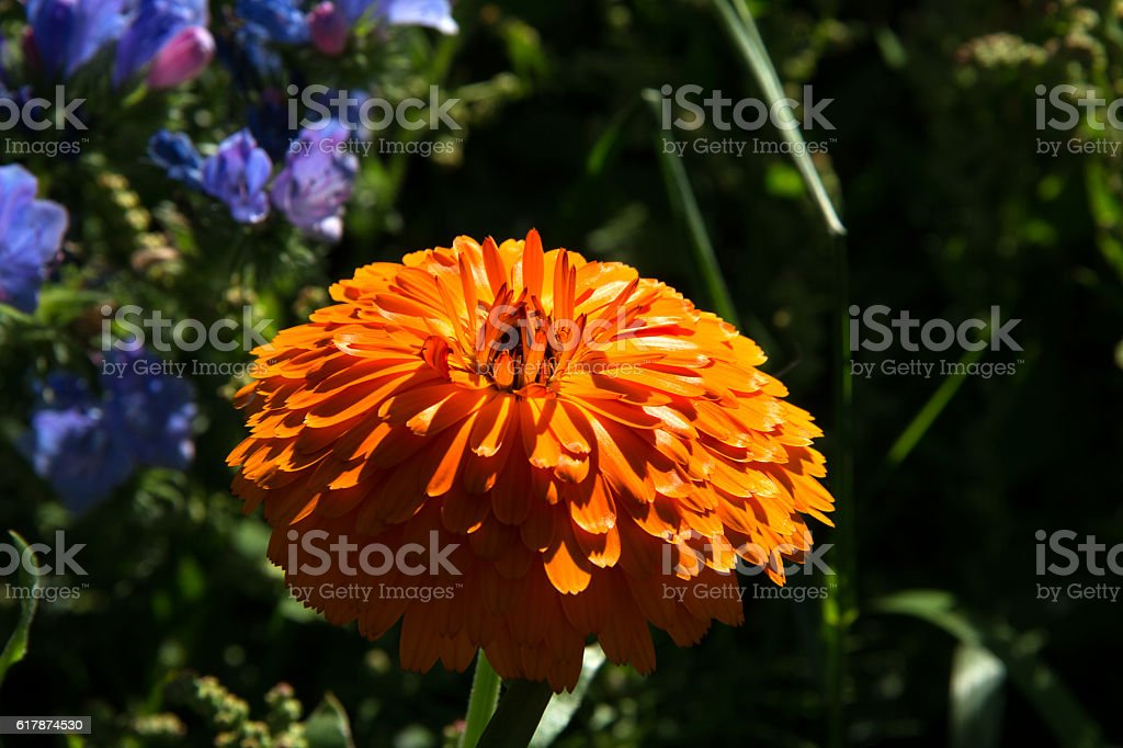 Orange Ringelblumenblüte - Orange marigold flower blossom stock photo