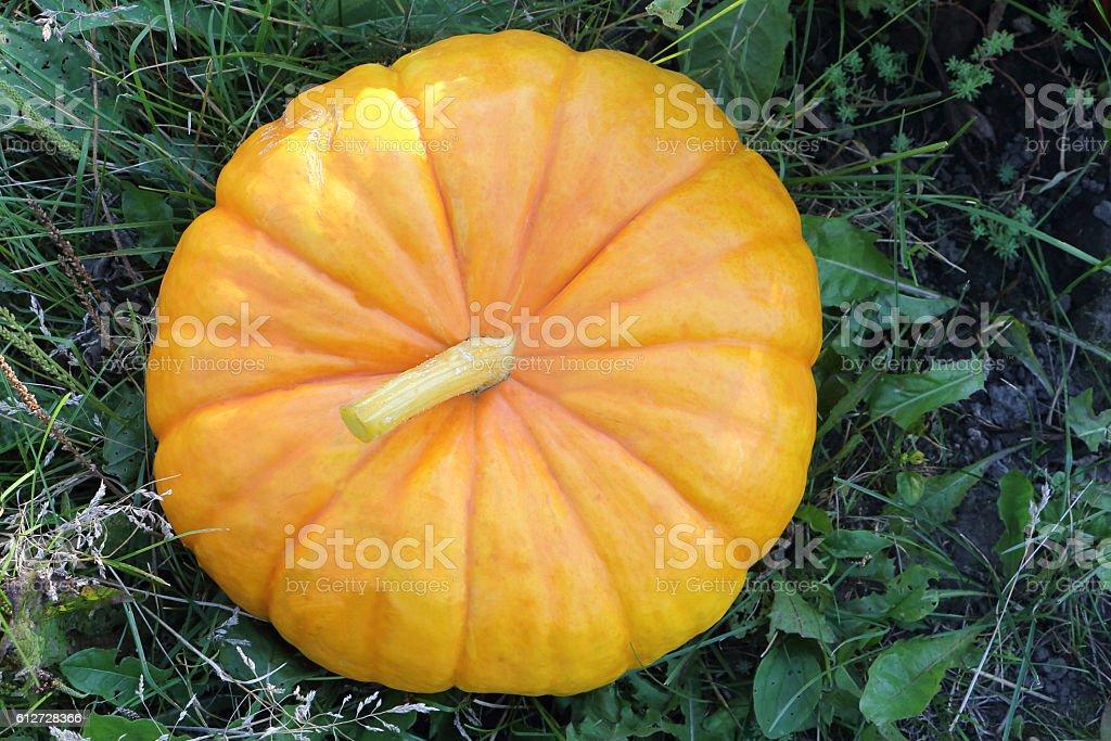 Orange ripe pumpkin on a grass in a garden stock photo