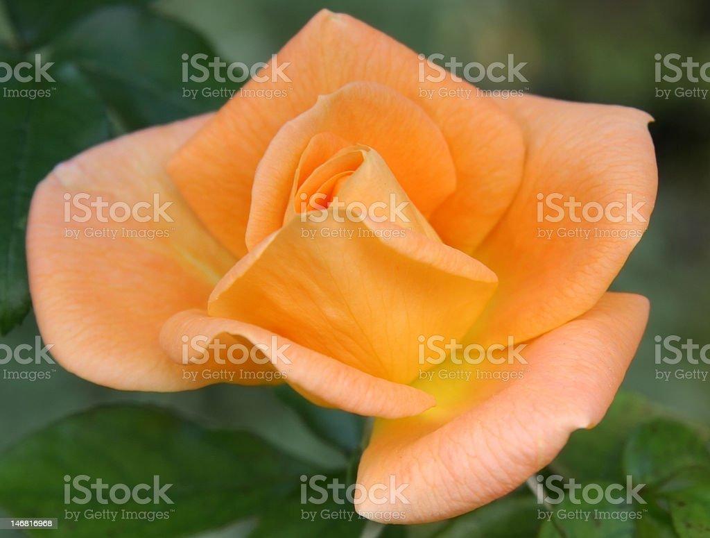 Orange Rose against Green, Close-up stock photo