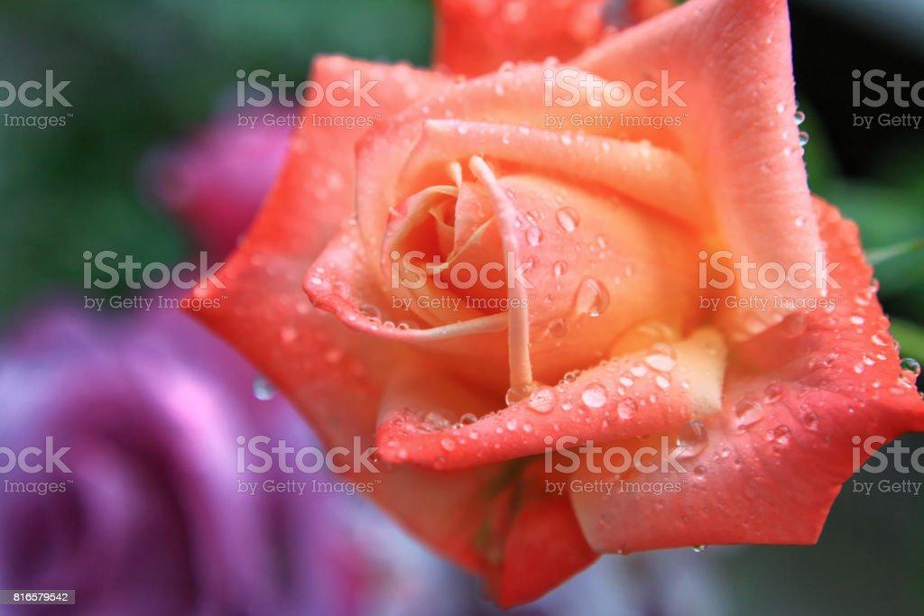 Orange Rose, Bal du Soir stock photo
