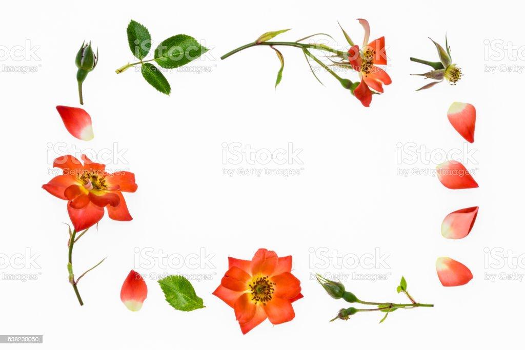 orange rose border on white background stock photo
