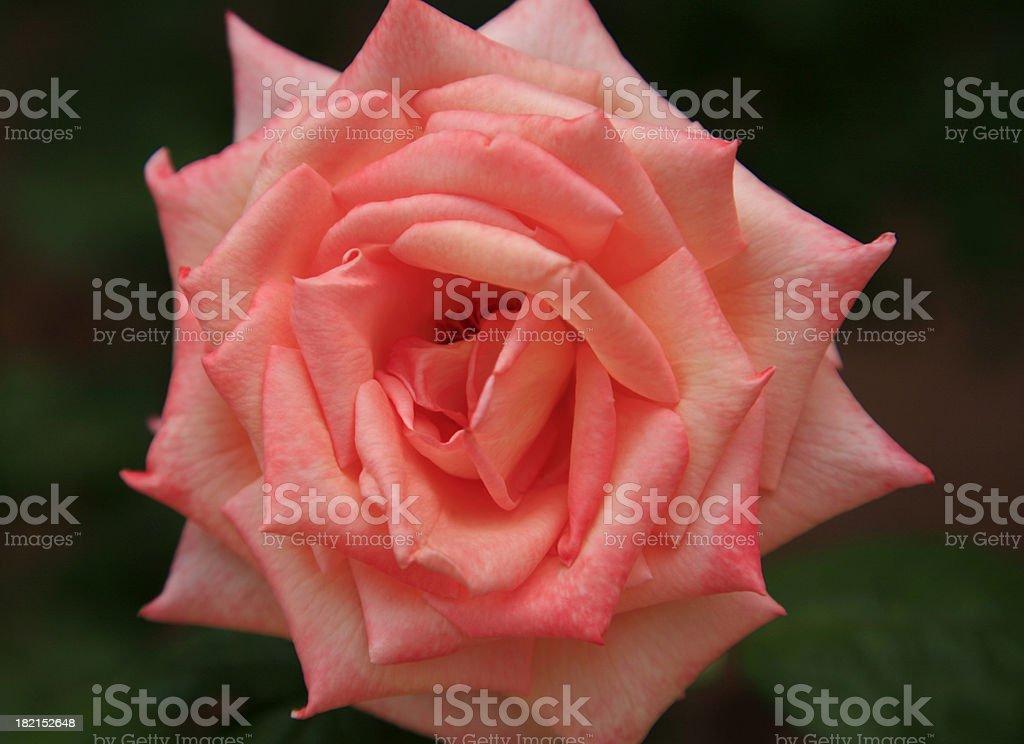 Orange Rose Close up. royalty-free stock photo