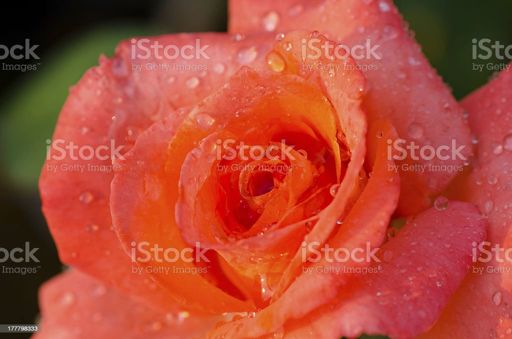 Orange rose closeup royalty-free stock photo