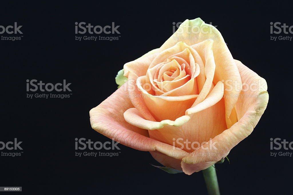 Orange Rose Close-Up royalty-free stock photo