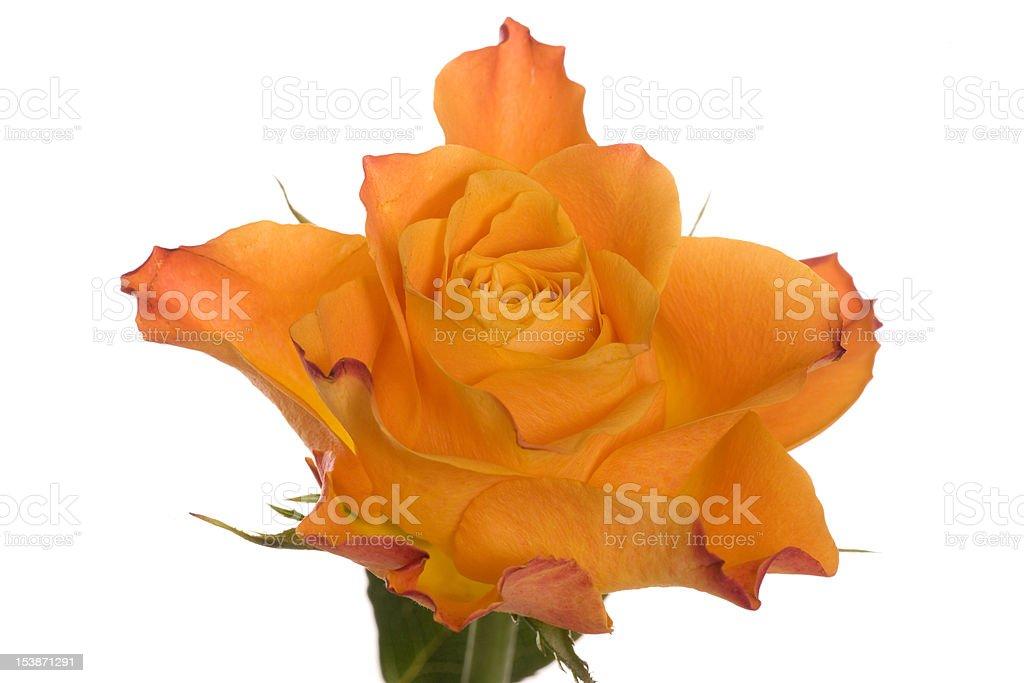 Orange rose flower royalty-free stock photo