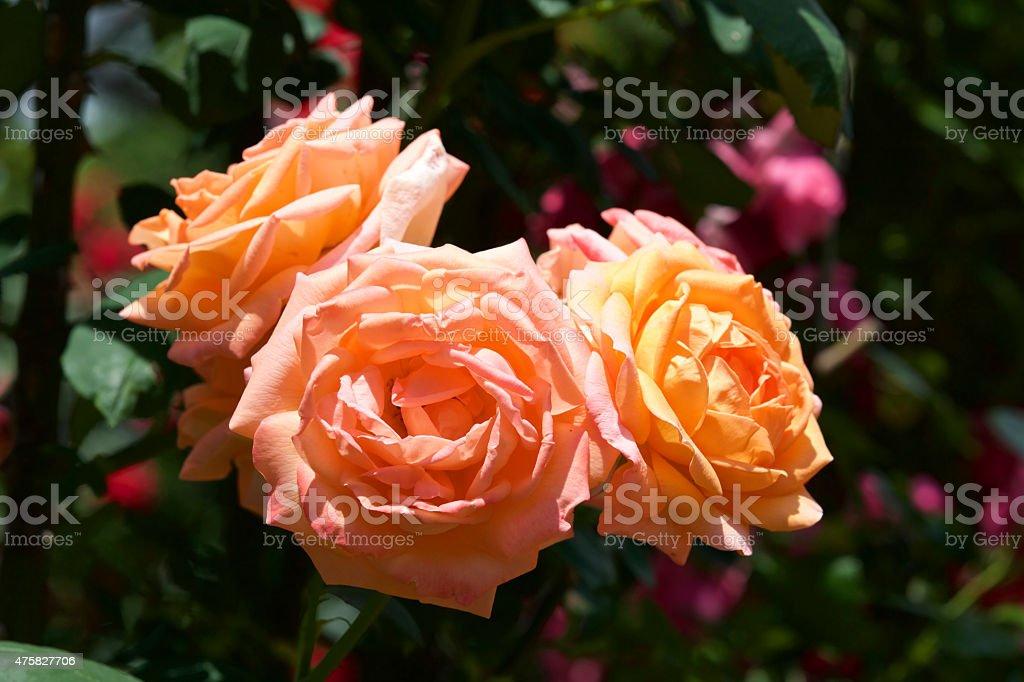 Orange rose in garden. stock photo
