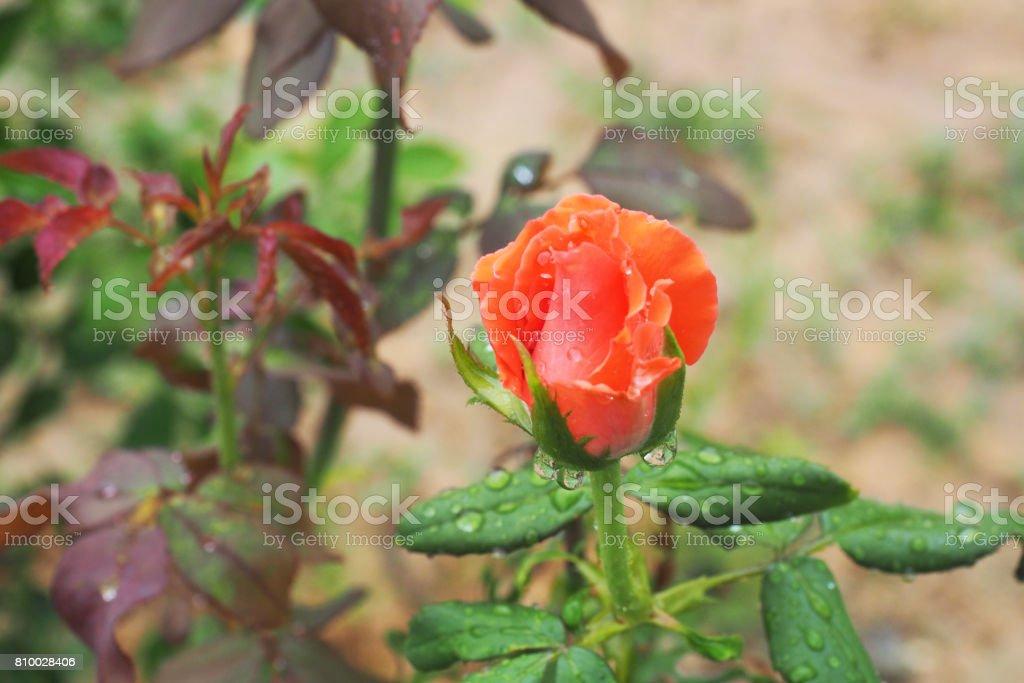 orange rose in garden stock photo