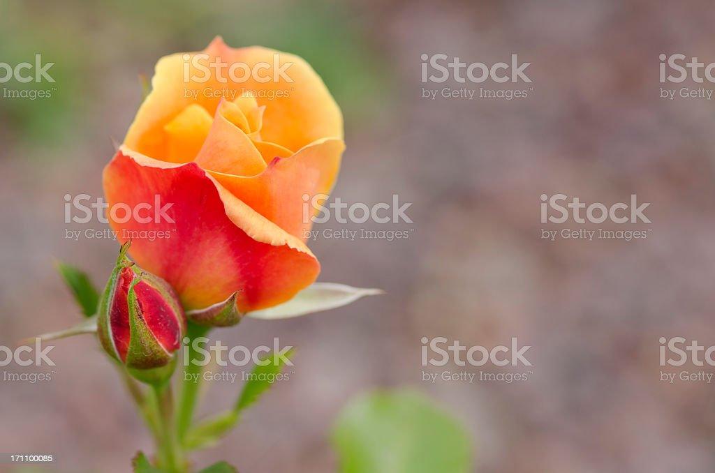 Orange Rose in Portorose Slovenia stock photo