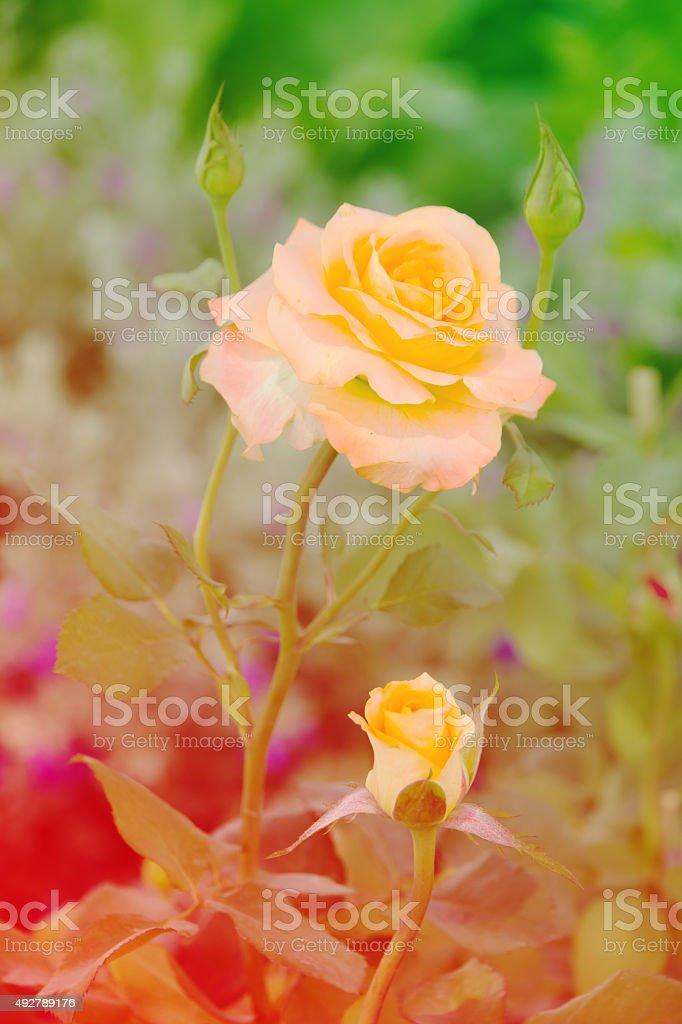 Orange Rose in Portorose Slovenia - Stock Image stock photo