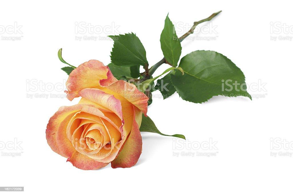 Orange rose isolated royalty-free stock photo