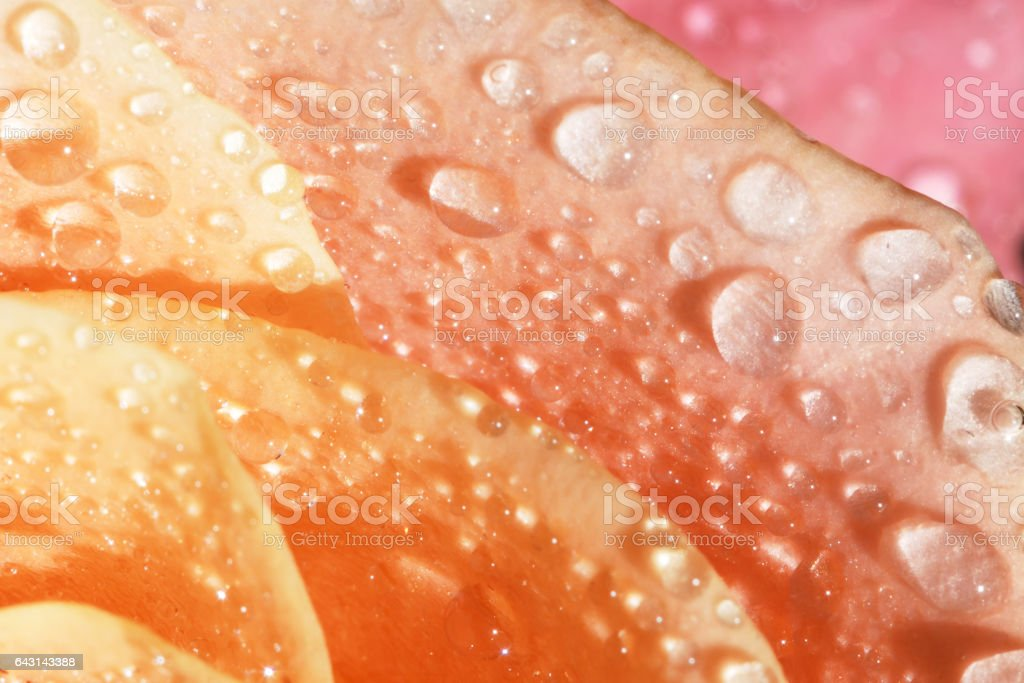 Orange rose petals with water drops stock photo