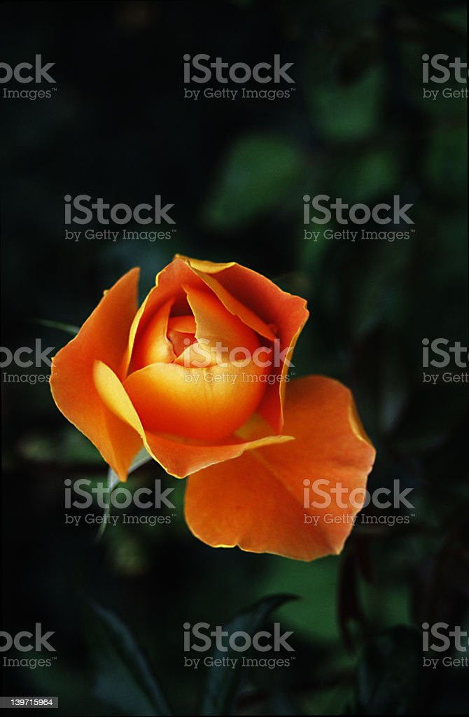 Orange Rose royalty-free stock photo