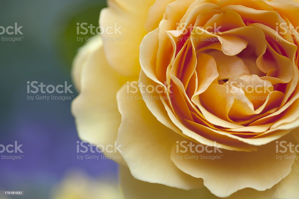 Orange Rose ( Rosea ). stock photo