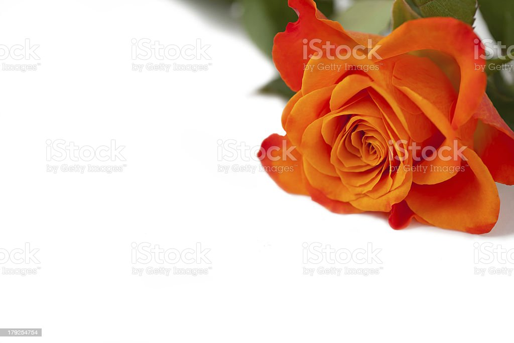 Laranja Orange rose foto royalty-free