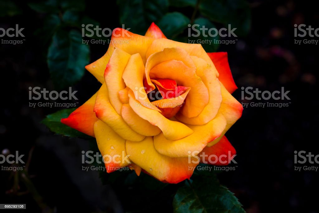 Orange Rose stock photo