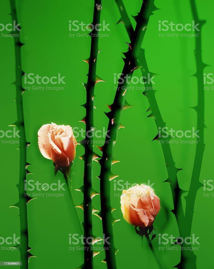 orange roses royalty-free stock photo