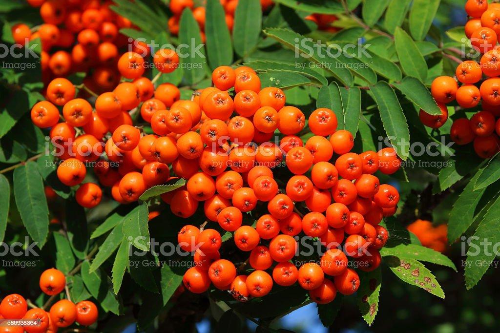 Orange Rowanberries (Hippophae rhamnoides) stock photo