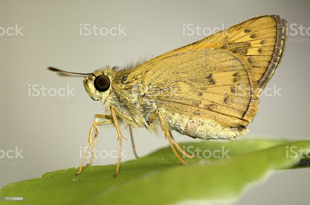 Orange skipper in Singapore royalty-free stock photo