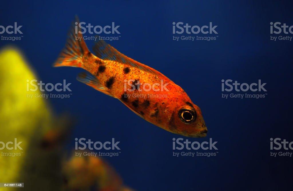 Orange small fish in aquarium stock photo