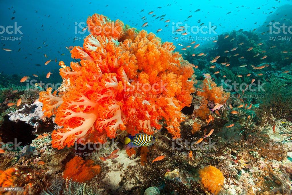 Orange Softcoral Beauty Scleronephthya sp., Komodo National Park, Indonesia stock photo