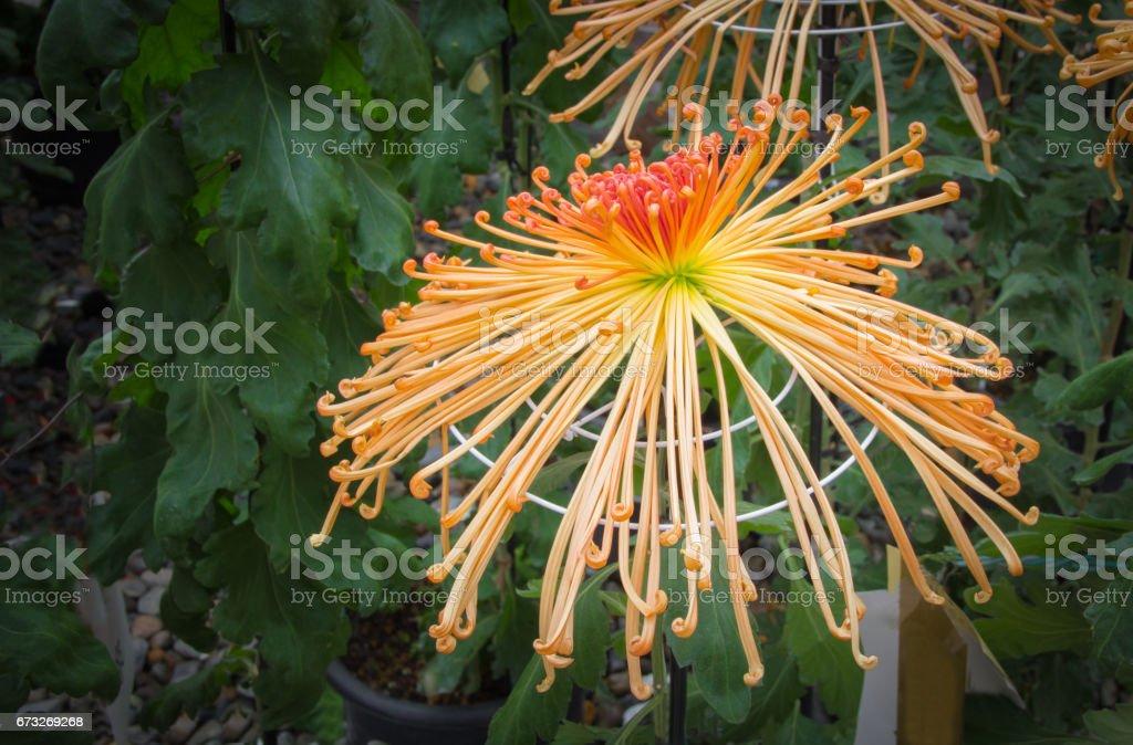 Orange spider Chrysanthemum in the garden stock photo