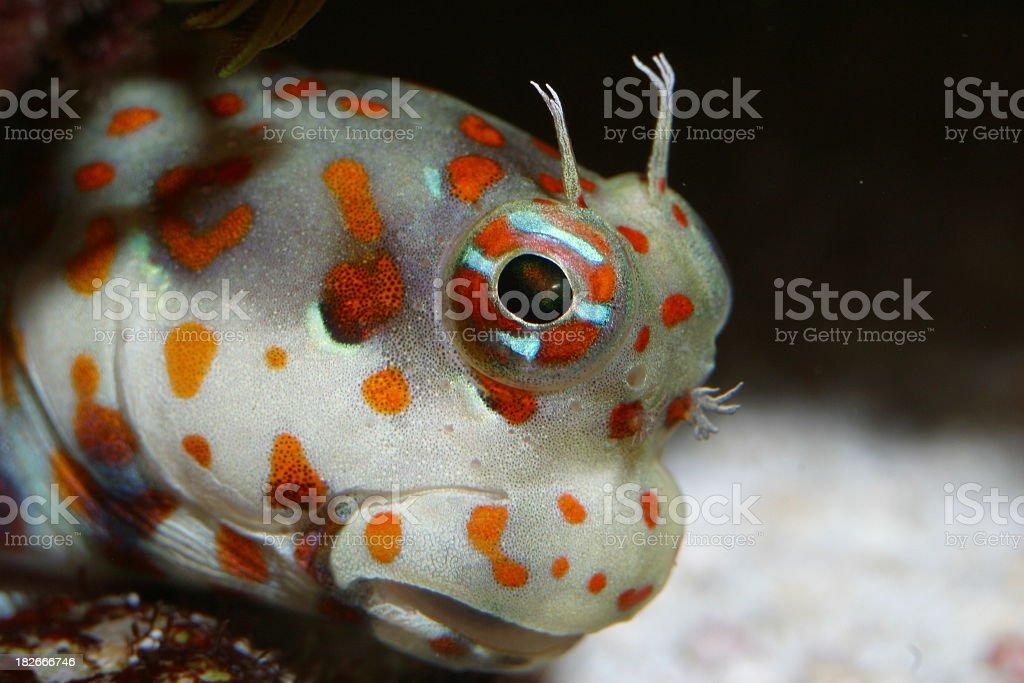 Orange Spotted Goby royalty-free stock photo