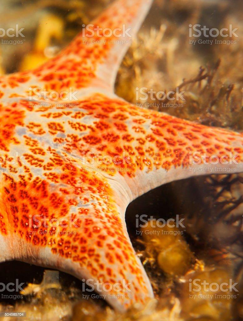 Orange spotted leather sea star stock photo