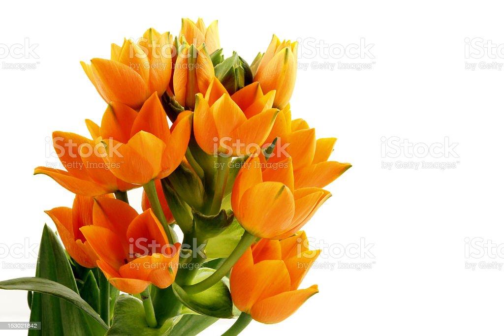 Orange Star Flower (Ornithogalum Dubium) stock photo