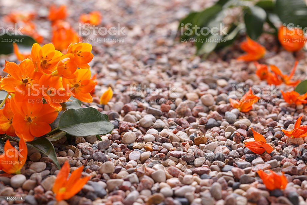 Orange Star Flowers with Pot Gravel in Nature Morning Light royalty-free stock photo