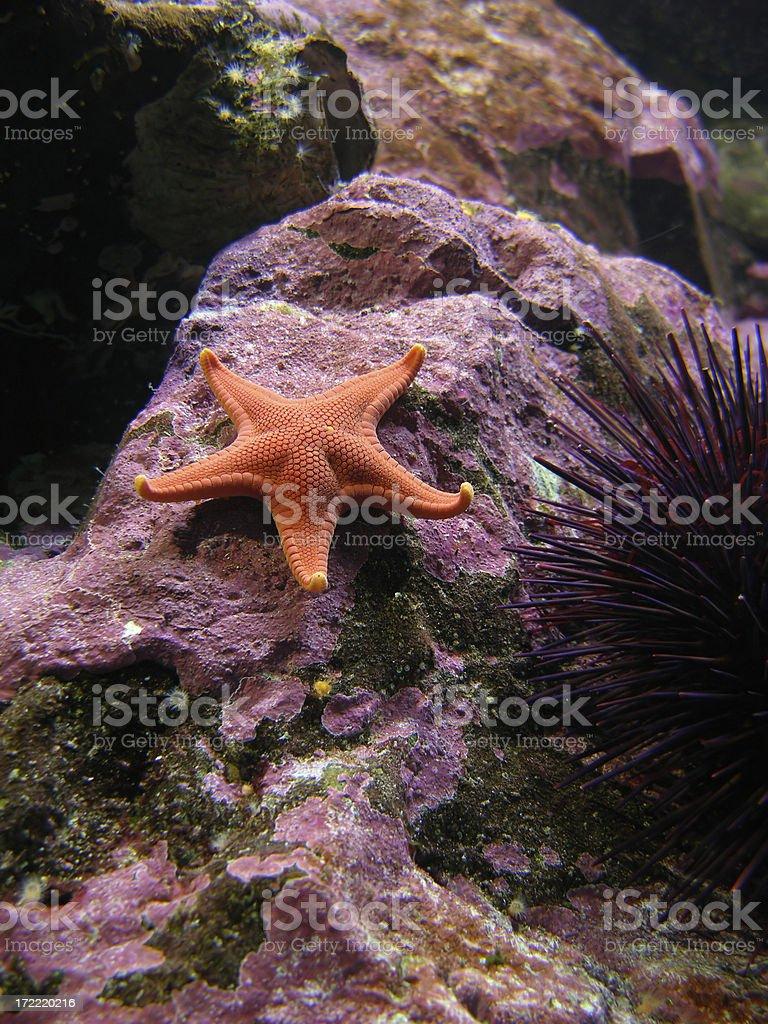 Orange Starfish stock photo