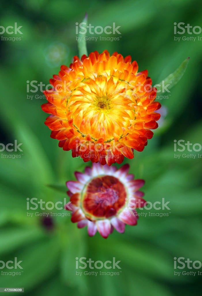 Orange Strawflowers (Helichrysum) on a green background stock photo