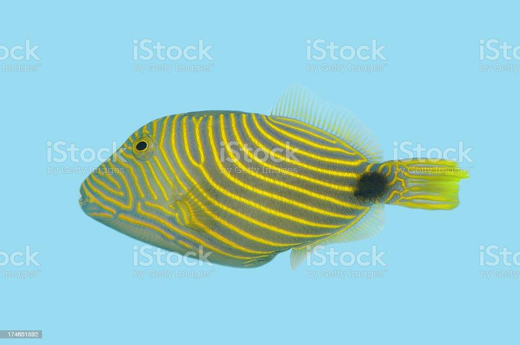 Orange Striped Trigger Fish royalty-free stock photo