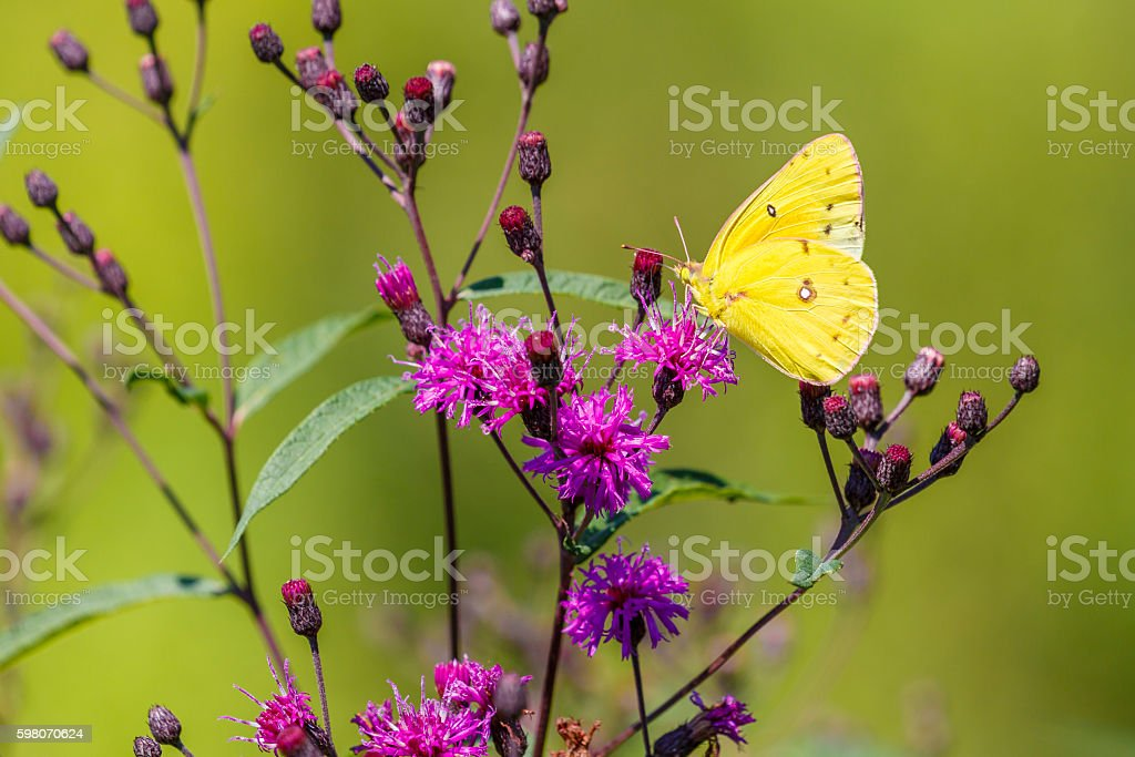 Orange Sulpher Butterfly Nectaring On Purple Ironweed stock photo
