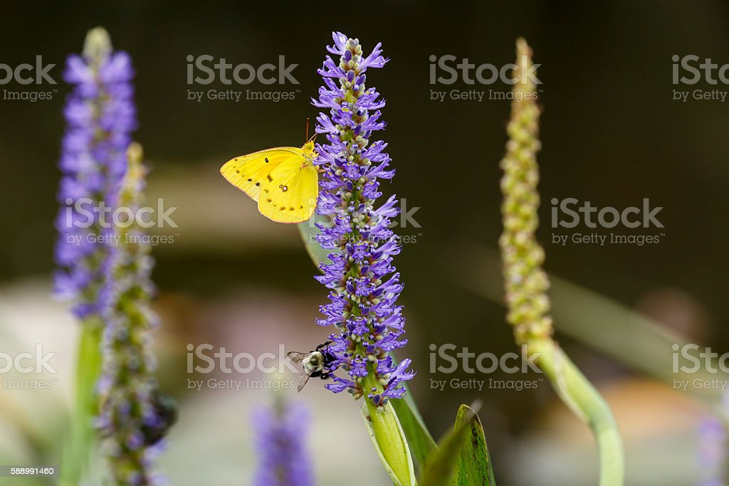 Orange Sulpher Butterfly on Pickerelweed Flower stock photo