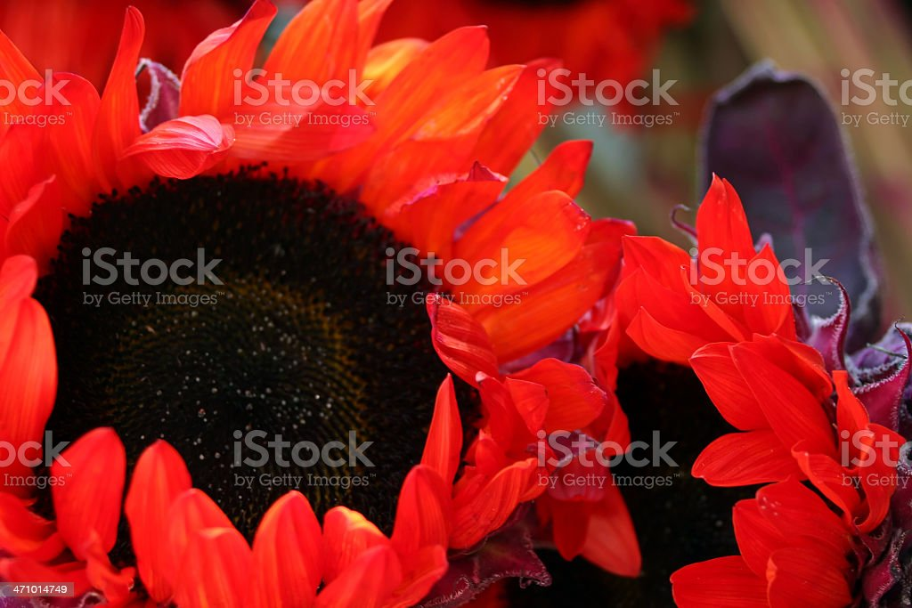 Orange Sunflowers II stock photo