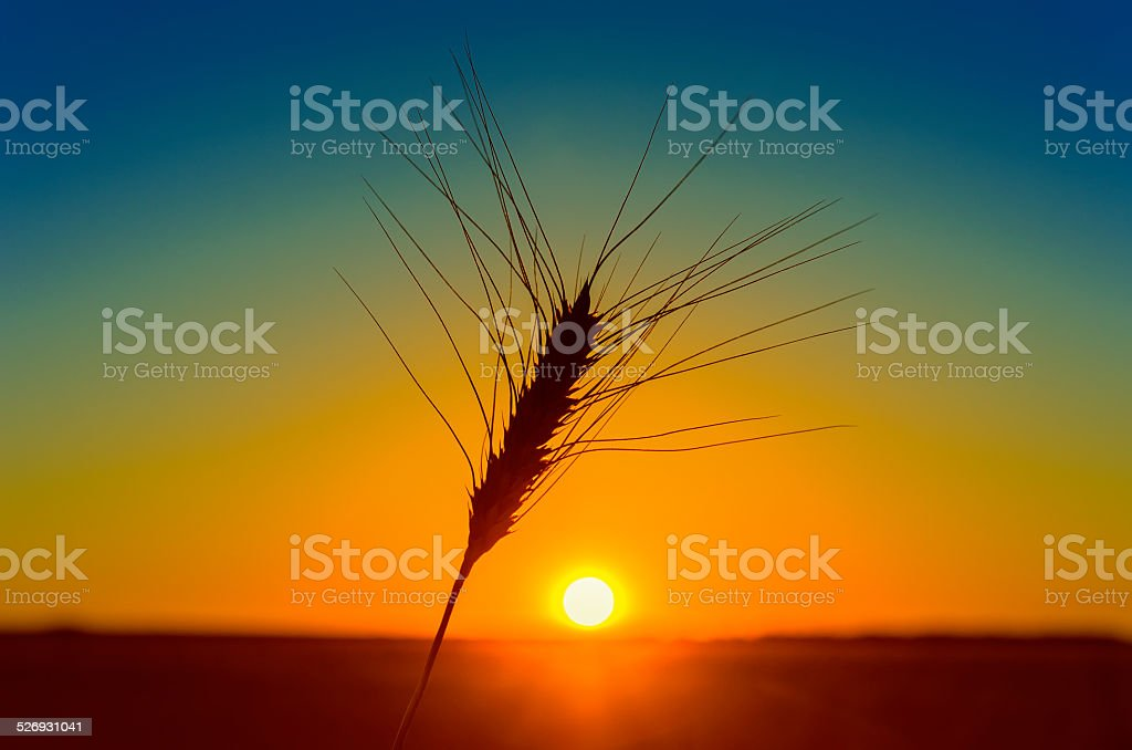 orange sunset and wheat ear on field stock photo