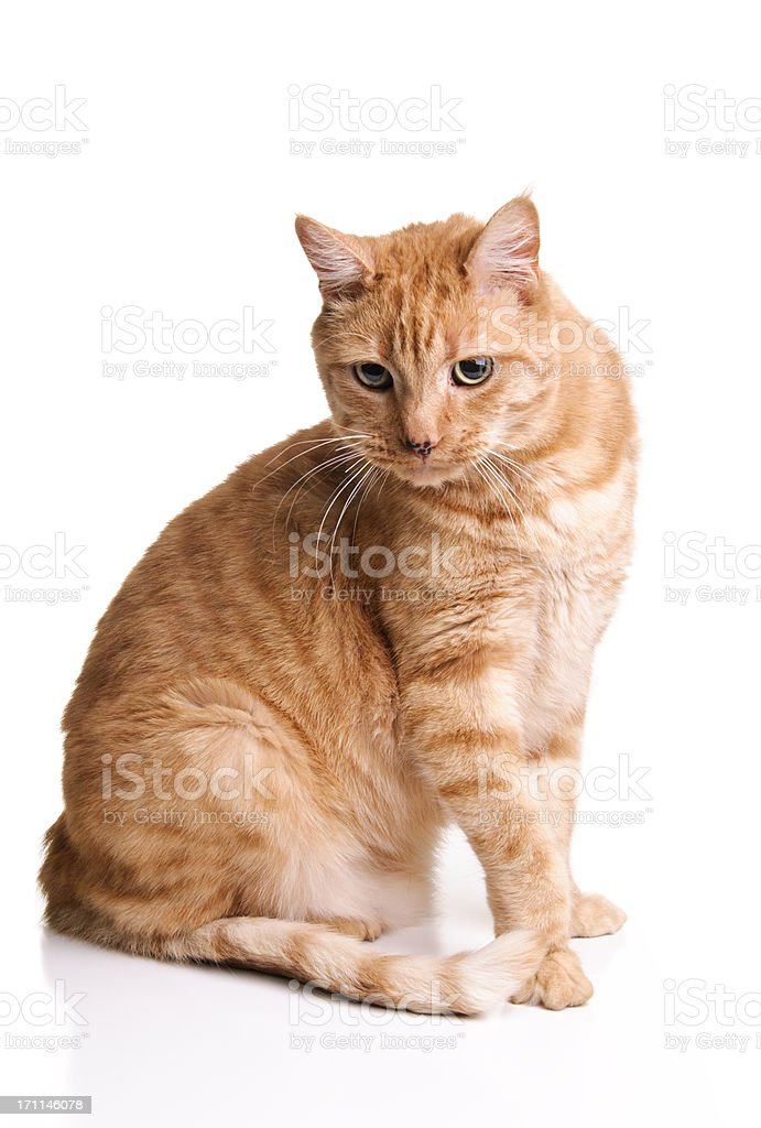Orange Tabby Cat stock photo