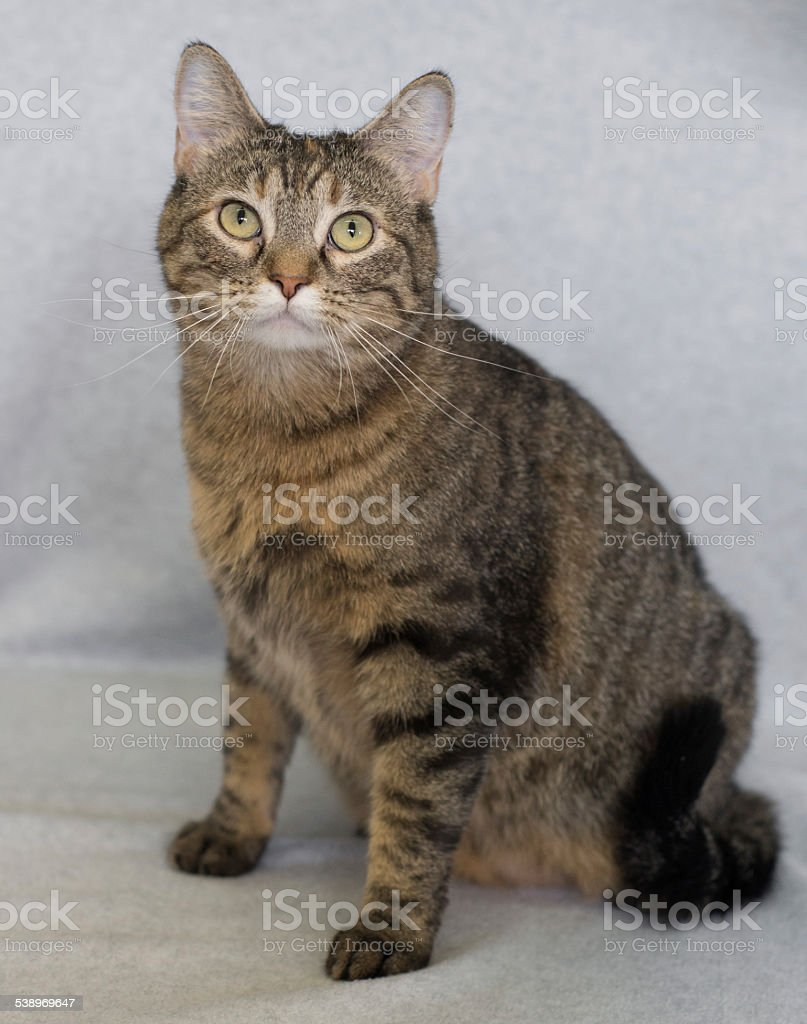 Orange tabby cat sitting facing the camera stock photo
